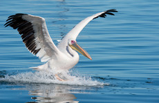 Pelican spotted on Wicklow river escaped from Fota Wildlife Park