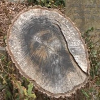 'Face of Jesus' appears on cemetery tree stump