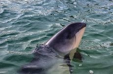 Dutch scientists probing mysterious deaths of dozens of harbour porpoises