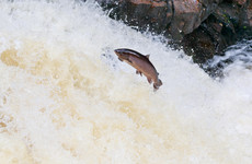 Farmed salmon found in Connemara river could spread disease to wild fish, state agency warns