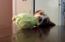 VIDEO: This dog is an excellent thief