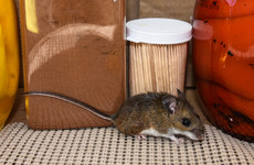 Rat activity and mice droppings: four food businesses ordered to shut last month