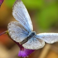 Fukushima caused mutant butterflies: scientists