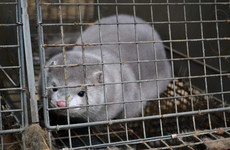 Fur farmers to receive between €4m to €8m in compensation as Cabinet approves ban