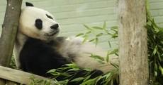 Melancholic Panda Contemplates Life, Wonders About Birthday Cake