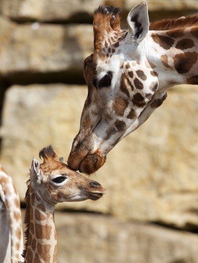PHOTOS: What has Dublin Zoo named its new baby giraffe?