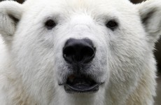 Scientists warn zoos as polar bear dies from zebra virus