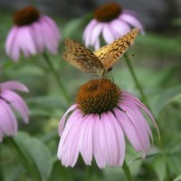Echinacea shouldn't be given to children under 12, says Medicines Board