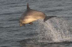 VIDEO: Dancing dolphins entertain researchers in Donegal