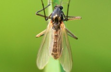 Biting of midges: treatment and prevention