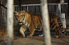 Tiger escapes and kills keeper at German zoo