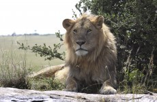 Anyone seen the #EssexLion? Reports send Twitter into frenzy