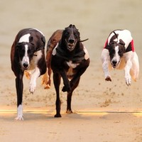 Decline in greyhound racing entries due to kennel cough