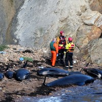 16 whales die after being stranded on Scottish beach
