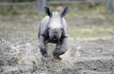 Slideshow: Dublin Zoo unveils new baby rhino
