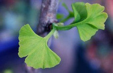 "Gingko biloba extract ""doesn't prevent Alzheimers"""