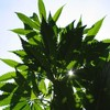 Government will seek to legalise some cannabis-based products
