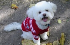 Slideshow: Christmas jumpers for pets