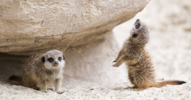 Meet Dublin Zoo's latest additions: Meerkat Pups