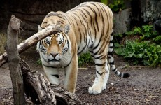 "Tiger in New York zoo that mauled man ""did nothing wrong"""