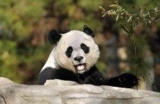Week-old baby panda dies in US zoo