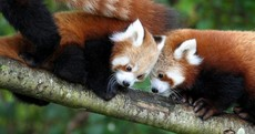 Baby Red Pandas Are Breaking Our Squeeometer