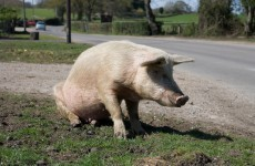 Oregon farmer, 69, 'eaten by his own pigs'