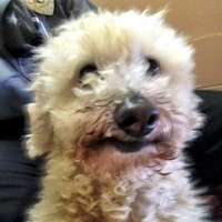 Pics: Poodle survives 18km ride stuck in car radiator