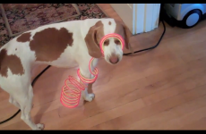 VIDEO: Is this the ultimate in dog shaming?