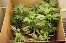 Two appear in court after 480 cannabis plants seized in Meath