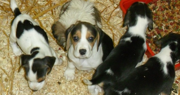 Some seized puppies 'only six weeks old', says DSPCA