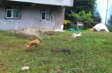VIDEO: Cat outsmarts dog… ninja style
