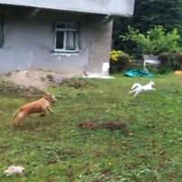 VIDEO: Cat outsmarts dog… ninja style