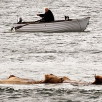 The curious case of the swimming Scottish cows