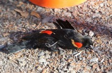 Another 500 dead birds fall from US skies