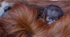 7 reasons why you should look at this baby orangutan