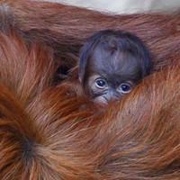 7 reasons why you should look at this baby orangutan
