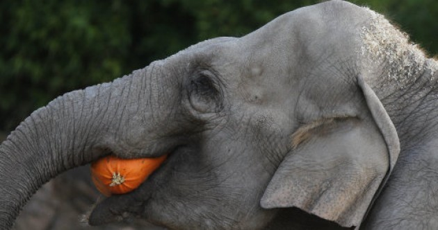 Elephants love pumpkins, here's the evidence
