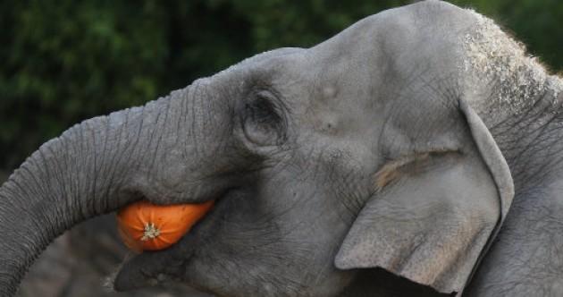 Elephants love pumpkins, here's the evidence