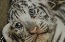 Thai man nabbed with 16 tiger cubs in truck
