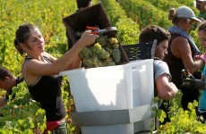 Wine shortage nearing as grape harvest hits historical low