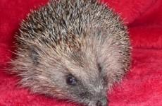 6 reasons why this hedgehog became an internet sensation