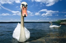 Attempted swan stealing in Galway city