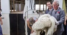 PHOTOS: Prince Charles goes sheep shearing