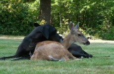 Animal odd couples: A dog and a deer