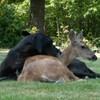 Animal odd couples: A dog and a deer