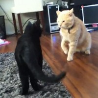 VIDEO: Black cat and ginger cat go to battle