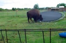 Bison jumping on a trampoline and… er… bloody loving it?