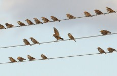 Mass bird deaths caused by alcohol