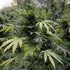 Gardaí seize 800 cannabis plants, arrest five men in Cork